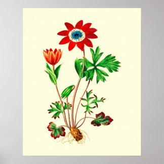 ヴィンテージの星のアネモネの花 ポスター