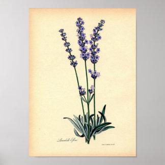 ヴィンテージの植物のプリント-ラベンダー ポスター