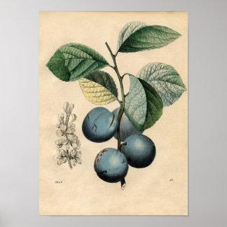 ヴィンテージの植物のポスター-プラム ポスター