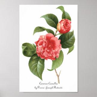 ヴィンテージの花柄、Redoute著ピンクのツバキの花 ポスター