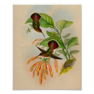 ヴィンテージの1861年の隠者のハチドリのプリント ポスター