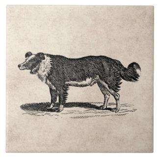 ヴィンテージの19世紀のボーダーコリー犬のイラストレーション タイル
