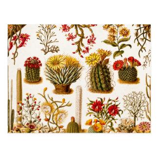 ヴィンテージの1911年のサボテンの花の古い花のイラストレーション ポストカード