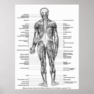 ヴィンテージ-人間の解剖学筋肉 ポスター