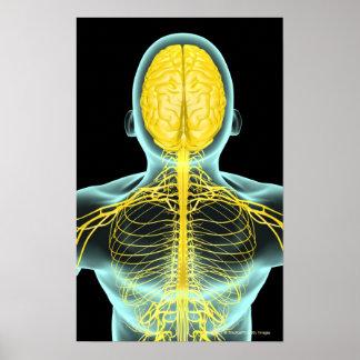 上でからの上体の神経の眺め ポスター