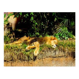 不精なライオン ポストカード