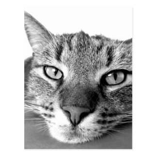 不精な猫のリラックス、黒い及び白 ポストカード