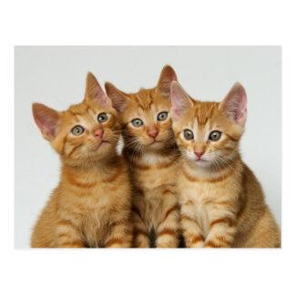 並んで3匹のかわいいショウガの子ネコ ポストカード
