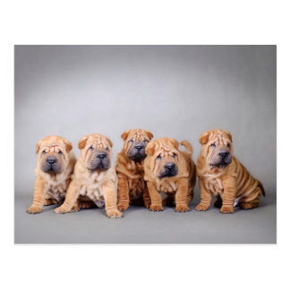 中国人のSharのpeiの子犬 ポストカード