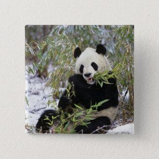 中国、四川地域。 ジャイアントパンダは食べ物を与えます 5.1CM 正方形バッジ