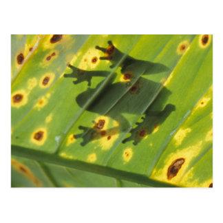 中央アメリカ、コスタリカのバックリットのカエル ポストカード