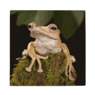 中央PA、米国。 ボロネオの耳付つきのカエル; ウッドコースター