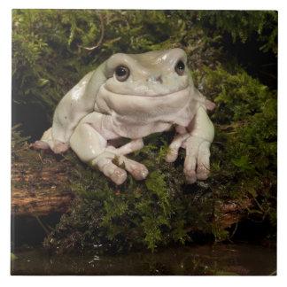中央PA、米国、White's Treefrog; Litoria タイル
