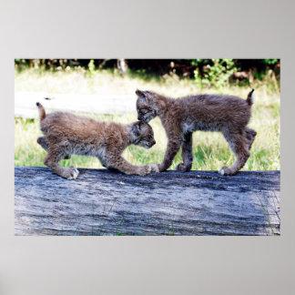 丸太で遊んでいる2匹のカナダのオオヤマネコの子ネコ ポスター