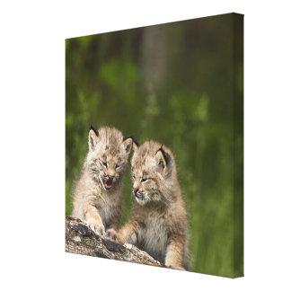 丸太で遊んでいる2匹のカナダオオヤマネコの子ネコ キャンバスプリント