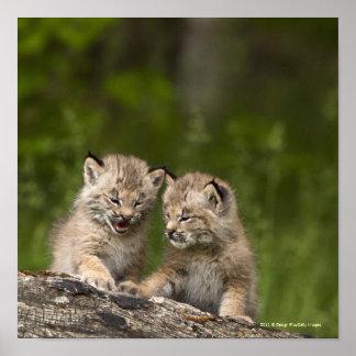 丸太で遊んでいる2匹のカナダオオヤマネコの子ネコ ポスター