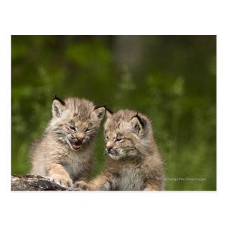 丸太で遊んでいる2匹のカナダオオヤマネコの子ネコ ポストカード