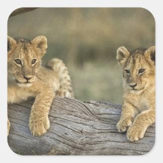 丸太、ヒョウ属レオ、マサイ語マラのライオンの子、 スクエアシール