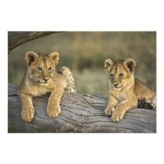 丸太、ヒョウ属レオ、マサイ語マラのライオンの子、 フォトプリント