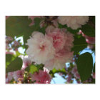 二重活気付く桜私は花柄はねます ポストカード
