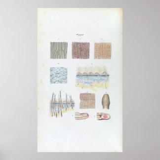 人間の毛髪の皮およびネイルのヴィンテージの解剖学 ポスター