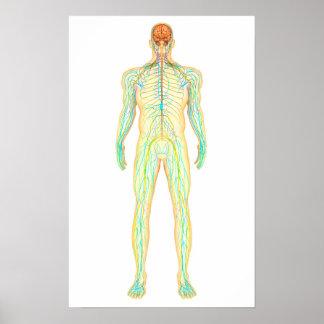 人間の神経質な、リンパ系の解剖学 ポスター