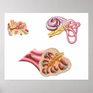 人間の耳の蝸牛な管の解剖学 ポスター