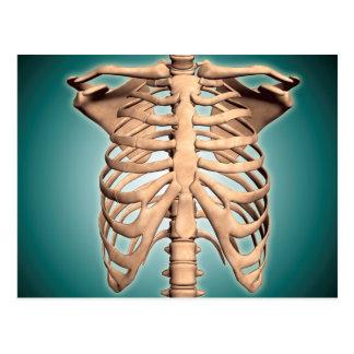 人間の胸郭のクローズアップの眺め ポストカード