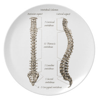 人間の脊柱の骨 プレート