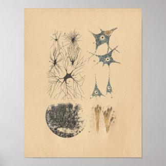 人間の脳ニューロン解剖学のヴィンテージのプリント ポスター