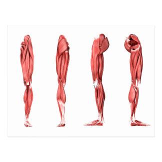 人間の足筋肉の医学のイラストレーション ポストカード