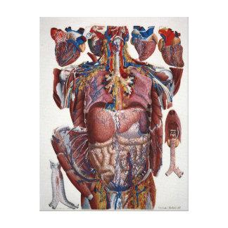 人間のVisceraのパウロMascagniのイラストレーション キャンバスプリント