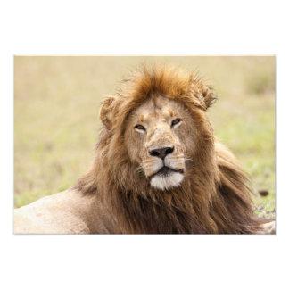休んでいるオスのライオンのヒョウ属レオ)マサイ語マラ フォトプリント