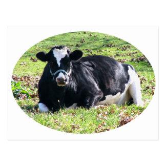 休息の乳牛の円の透明な背景 ポストカード