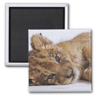側面、クローズアップにあっているライオンの子(ヒョウ属レオ) マグネット