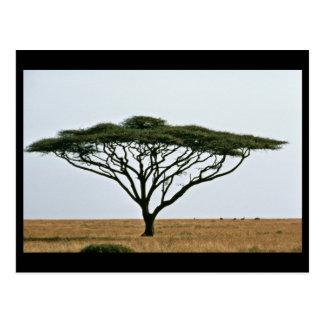 傘のとげのアカシアの木 ポストカード