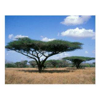 傘のとげのアカシア(アカシアのtortilis)、Mkuze ポストカード