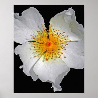 光輝の敏感で白い花 ポスター