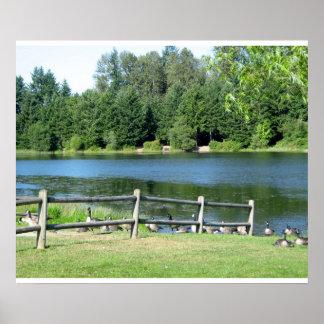 公園の湖畔のガチョウ ポスター
