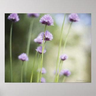 共通の庭のハーブの成長の紫色の花 ポスター