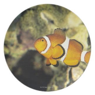 共通のclownfish (Amphiprionのocellaris)、 プレート