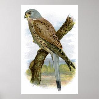 共通のKestrel - Falcoのtinnunculus ポスター