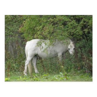 内気な白馬の郵便はがき ポストカード