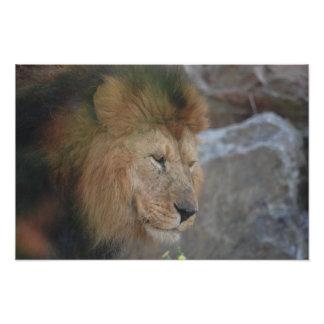 写真ライオン フォトプリント