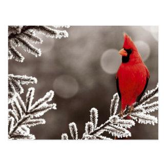 冬の赤い(鳥)ショウジョウコウカンチョウ ポストカード