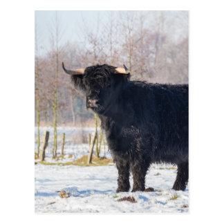 冬の雪の黒いスコットランドの高地居住者牛 ポストカード
