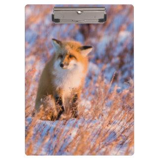 冬のChurchillの野性生物のアカギツネ クリップボード