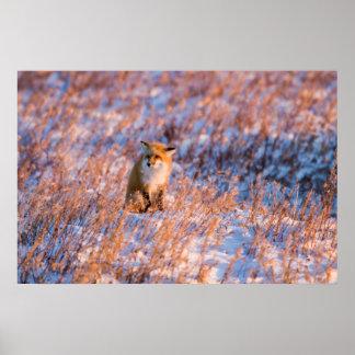 冬のChurchillの野性生物のアカギツネ ポスター