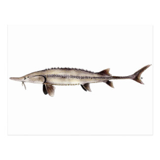 冴えないチョウザメ- Scaphirhynchusのalbus ポストカード