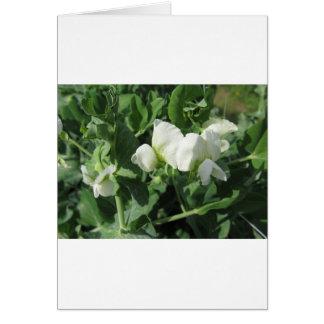 分野の花盛りの豆の木。 タスカニー、イタリア カード